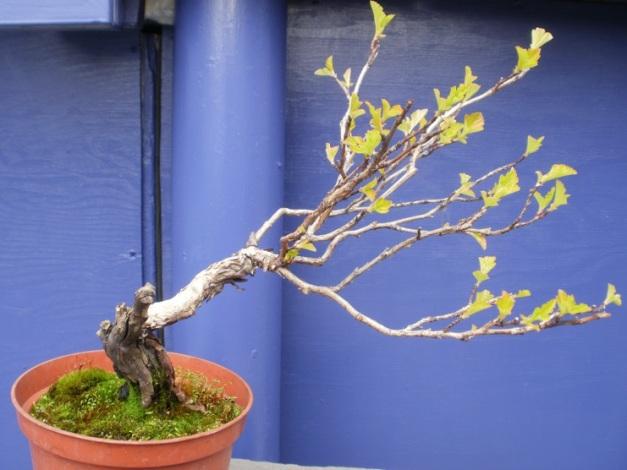 Ninebark - Physocarpus opulifolius 'Dart's Gold'